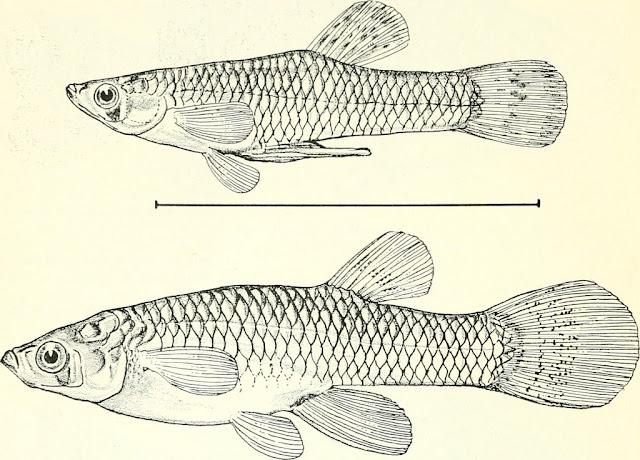 الخط الجانبي لدى الاسماك