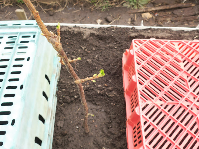 Newly planted blackcurrant with leaves appearing.