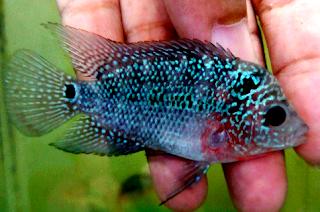 Tips Memilih anakan ikan louhan yang bagus untuk bibit