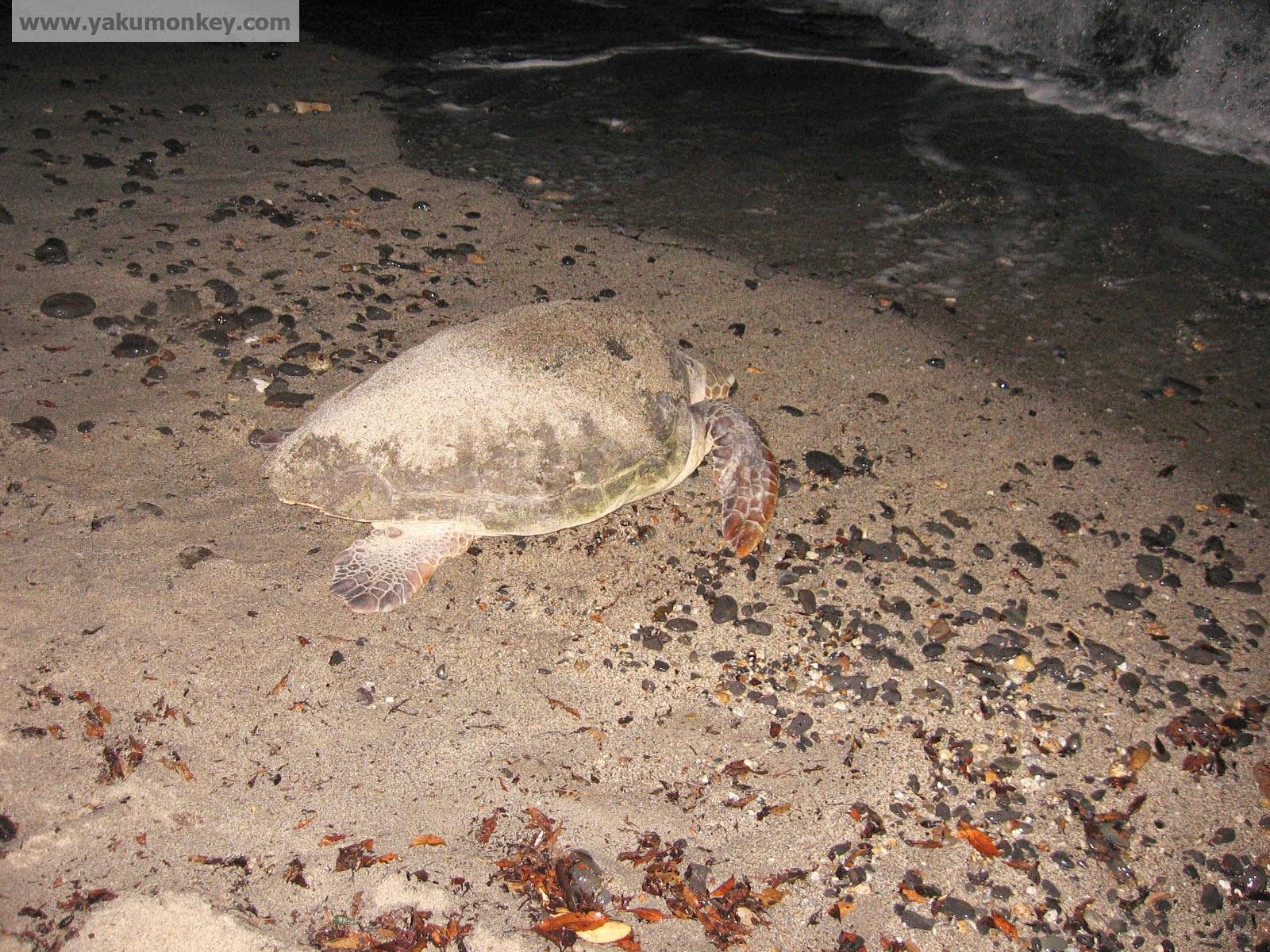 Yakushima Turtle