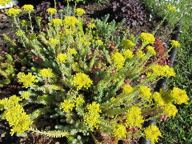 Sedum Flaming Carpet