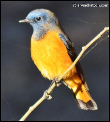Blue-front Redstart,