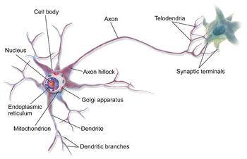 Anatomy of Nerve Cells (Neuron)