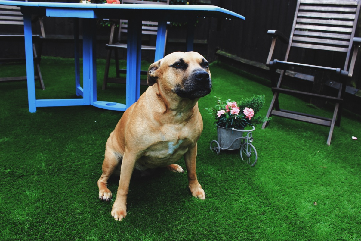 Carpetright Artificial Grass Garden Transformation Ginger Staffordshire Bull Terrier