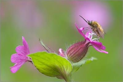 fotos de abejas posadas en flores
