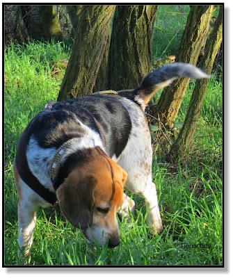 mit einem Beagle unterwegs