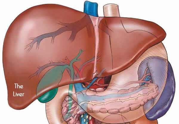 Ciri Ciri,Gejala,Penyebab Penyakit Liver & Obat Herbalnya