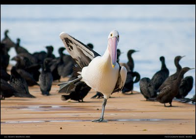 Funny Pelican Photos | Funny Images Show