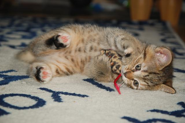 Kot bawi się myszką