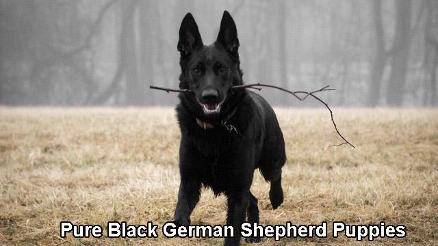 Pure Black German Shepherd Puppies