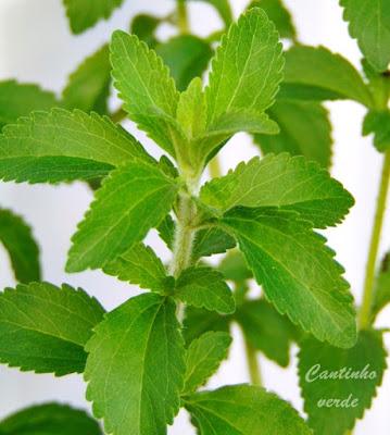 Cultivo e plantação da stevia a planta adoçante