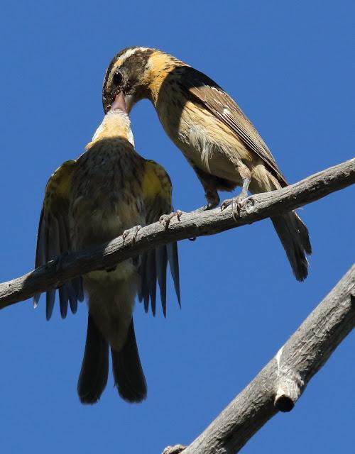 Feeding the baby--Black-headed Grosbeak