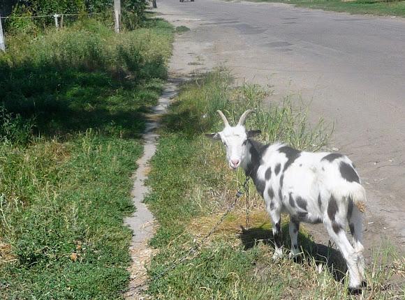 Васильковка. Район Низ. Улица Соборная. Коза у обочины