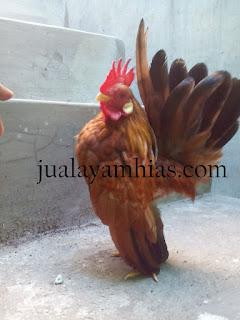 Ayam Serama Dewasa Jantan
