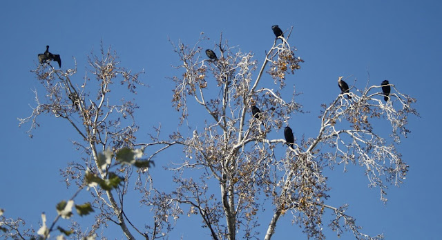 cormorants-perched-high-in-a-birch-tree