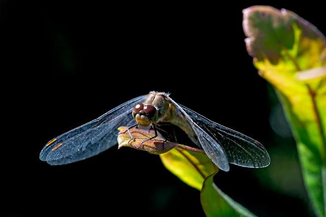 Nova Scotia; Gaff Point; Dragonfly