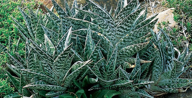 Aloe, Partridge Breast Aloe, Tiger Aloe Aloe variegata image