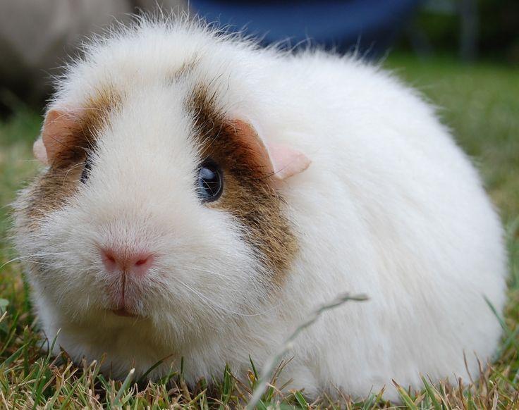 Výsledok vyhľadávania obrázkov pre dopyt GUINEA PIG SAD