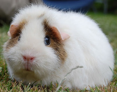 sad guinea pig