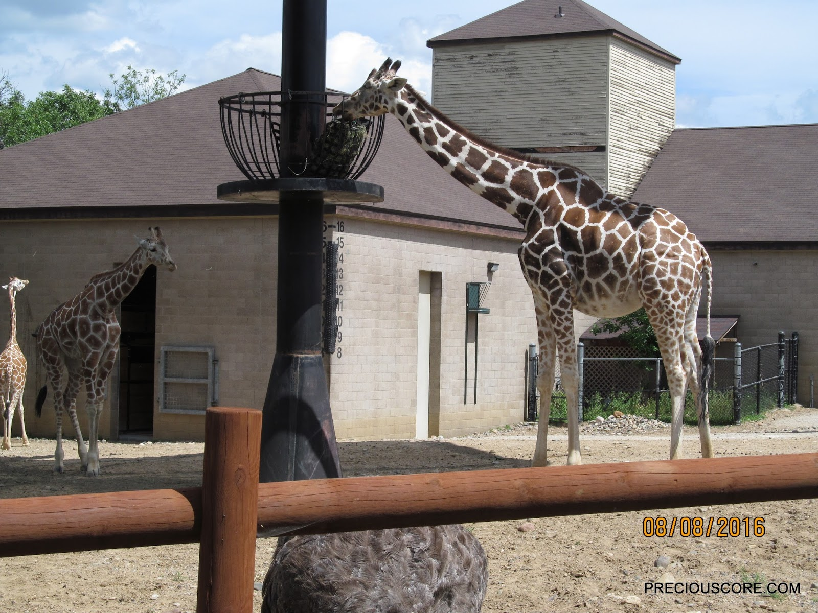 giraffe at Como Zoo