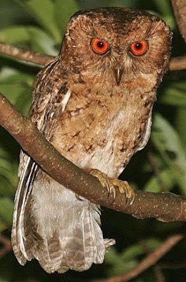 Japanese Scops Owl
