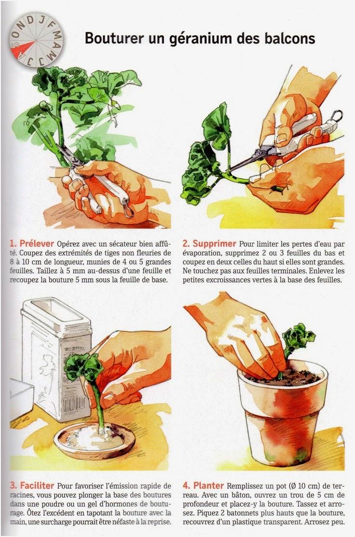 les mains comment faire une bouture d 39 un g ranium. Black Bedroom Furniture Sets. Home Design Ideas