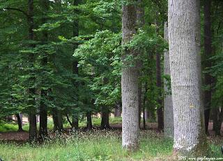 Chênaie forêt de Fontainebleau