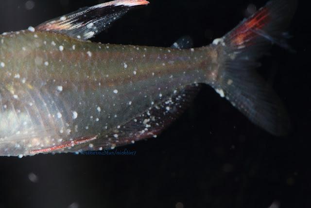 北辰的水族與旅遊紀錄: 魚隻長白點用老方法治不好?可能遇上了另一種白點--卵甲藻