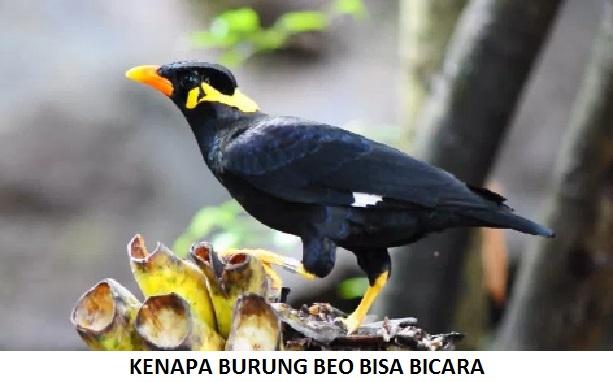 5 Alasan Burung Beo Bisa Bicara & 8 Tips Bicara Cepat Burung Beo