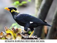 5 Alasan Burung Beo Bisa Bicara & 8 Tips Bicara Cepat