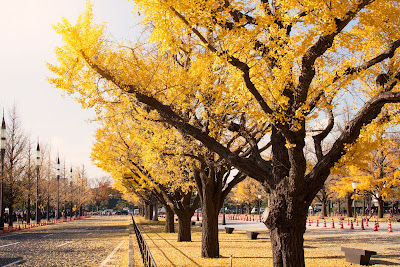 Gingko trees in fall near the Imperial Palace, Marunouchi.