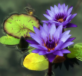 Gambar Bunga Teratai Terindah di Dunia 1