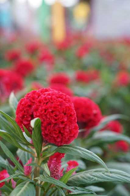 Celosia Rajati Flower Garden