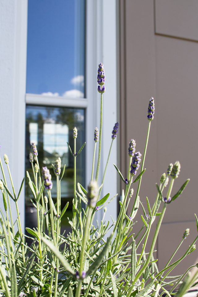 Villa H, kuisti, laventeli,