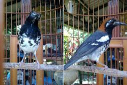 Tips memaksimalkan kicauan burung anis kembang