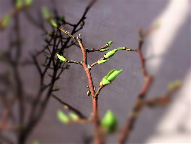 erste Blätter beim Heidelbeer