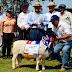Los mejores ejemplares de ganado son exhibidos en la Expo Misiones