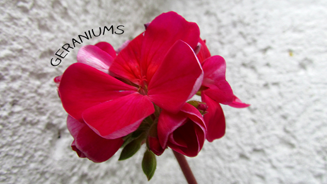 bright pink geranium in winter