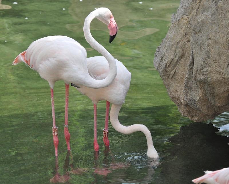 d01816a10 ZOOTOGRAFIANDO (MI COLECCIÓN DE FOTOS DE ANIMALES): FLAMENCO COMÚN O ...