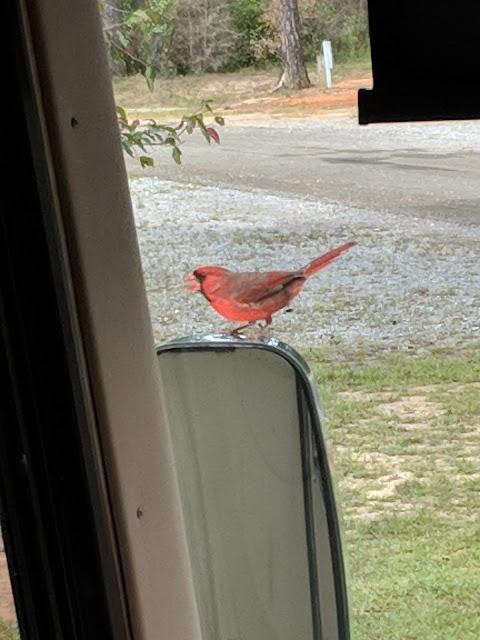 Cardinal enjoying it's reflection