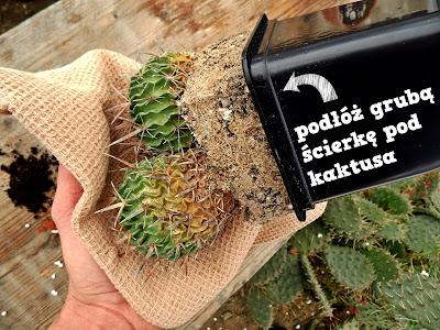 ścierka pomoże przy przesadzaniu kaktusów