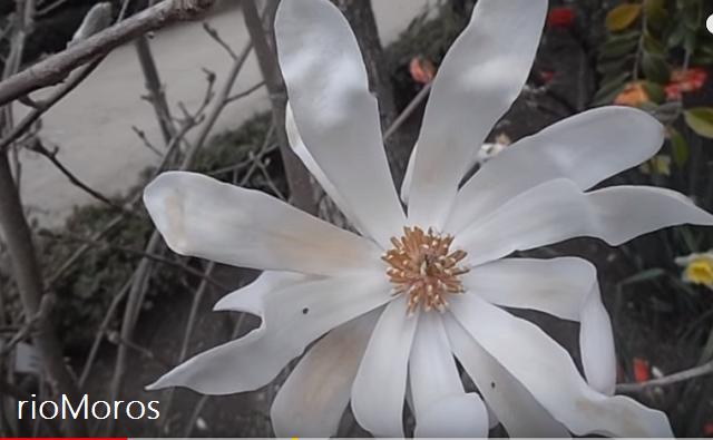 Flor abierta de MAGNOLIA ESTRELLADA Magnolia stellata