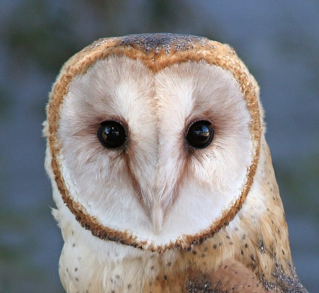 Owl Face - All About OWL