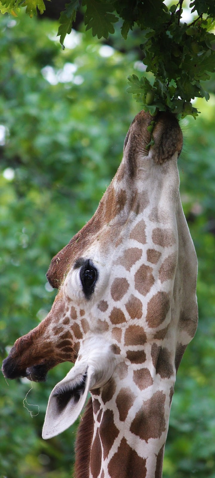 A giraffe eats leaves from a tree.