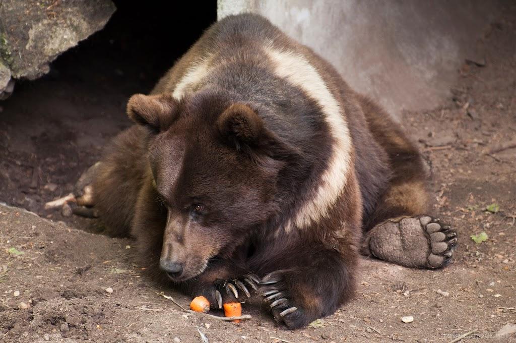 <b>Brown Bear</b> Ouwehands Dierenpark