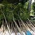 Jual Pohon Jacaranda Harga Murah