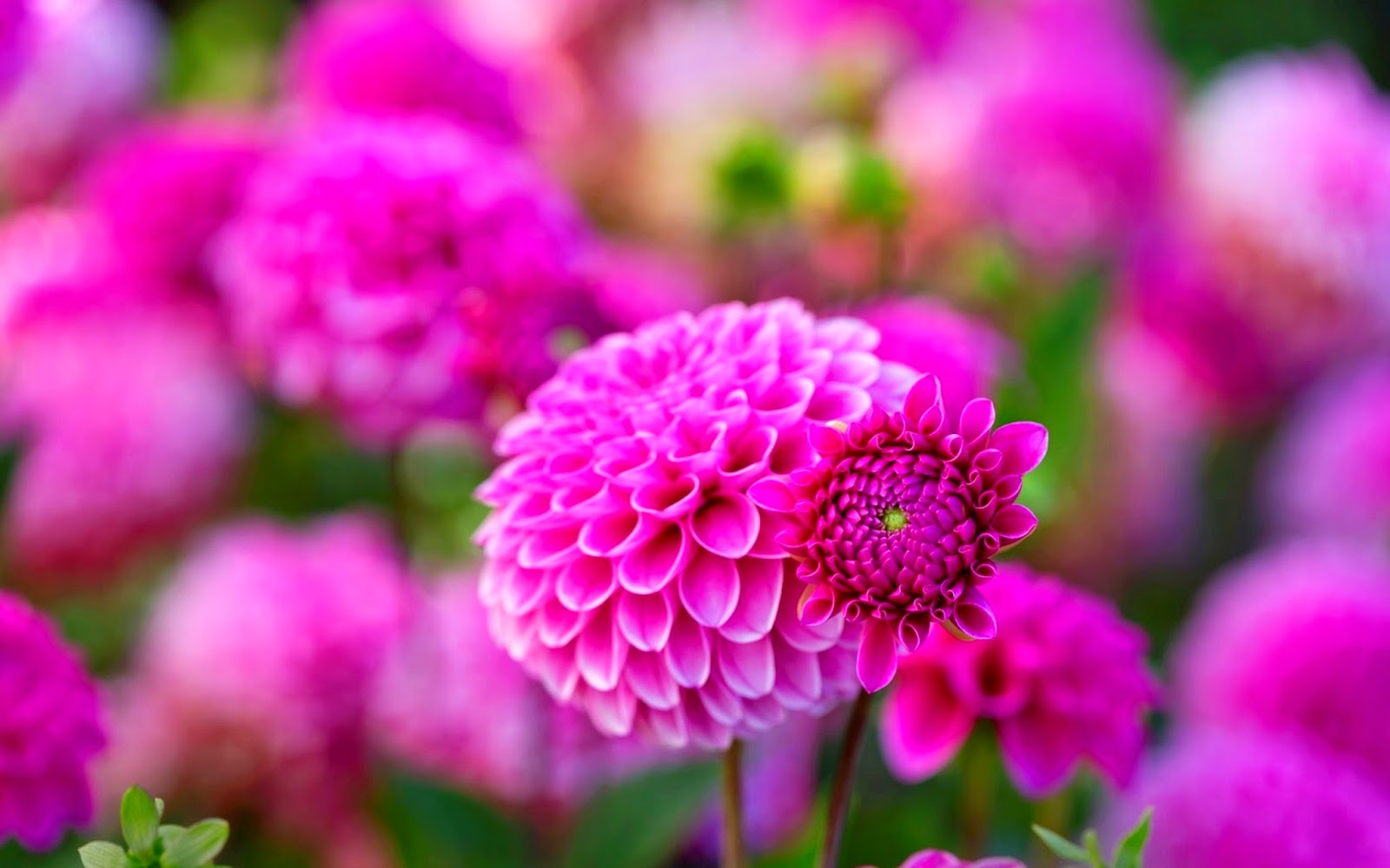Beautiful Flowers Wallpapers Collection tricksuniversity