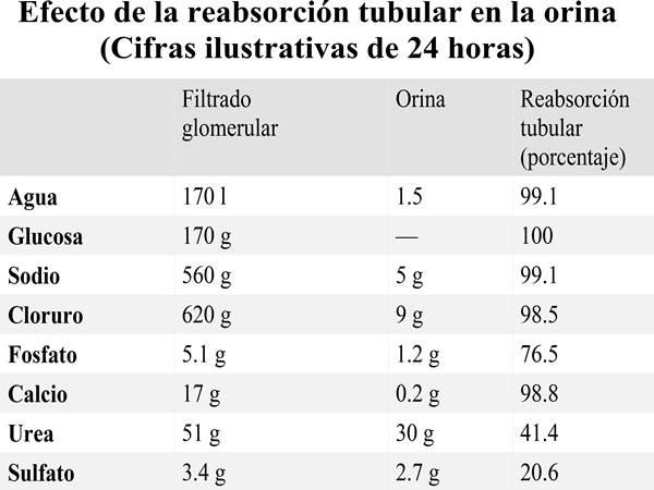 Sistema renal (sistema urinario) - anatomía y fisiología