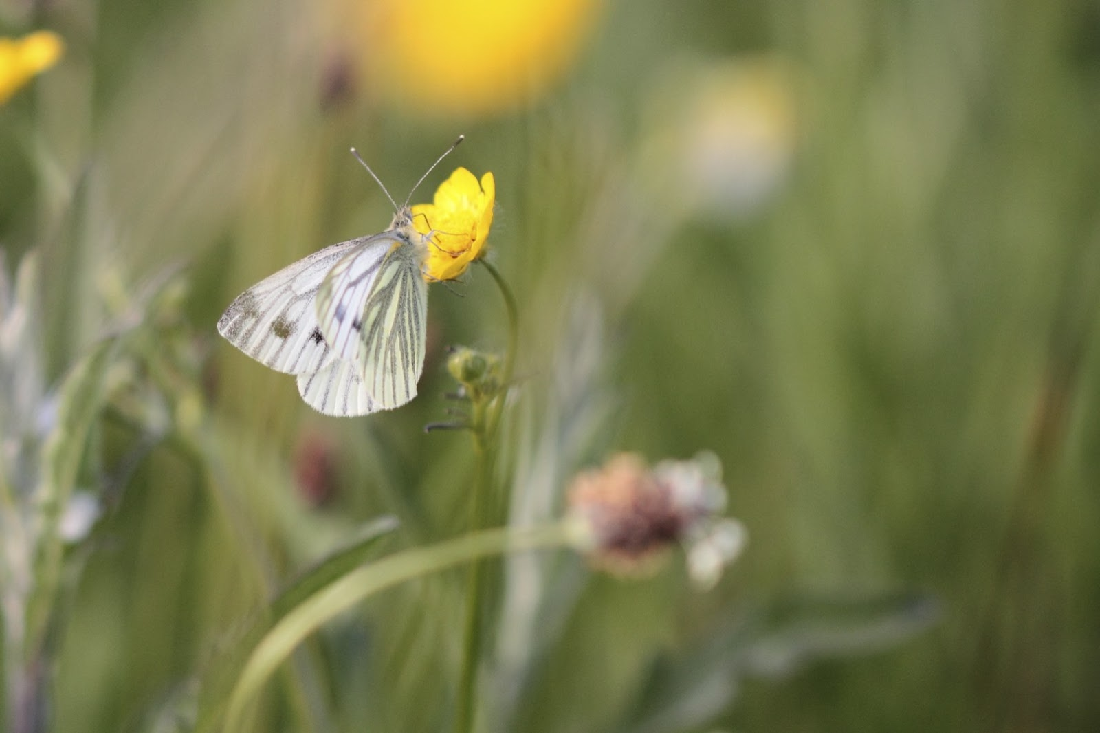 green hairstreak butterfly essay The green hairstreak is the uk's only green butterfly look out for the vibrant,  metallic sheen of the undersides of its wings on grassland and moorland, and.