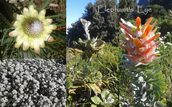 Protea scolymocephala, Oldenburghia grandis, Mimetes cucullatus Metalasia muricata